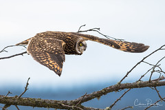 Short Eared Owl (Chris Parmeter Photography (smokinman88)) Tags: short eared owl bird raptor animal nature flying washington feathers detail eye nikon d500 300mm f28 tc14ii