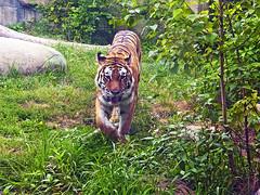Indianapolis Zoo 08-08-2013 - Amur Tiger 12 (David441491) Tags: amurtiger tiger indianapoliszoo