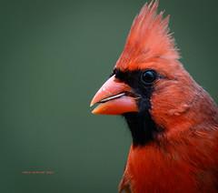 Northern Cardinal (rickdunlap2) Tags: cardinaliscardinalis northerncardinal cardinal red male bird animal wildlife backyard