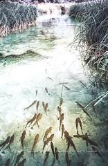 Swimming Trout (CJ Luck) Tags: cj europe european plitvicelakesnationalpark tealfadeeffect water animal cjluck fish grass green plitvice river riverside swimming teal trout waterscape
