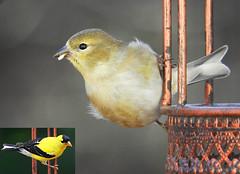 Transformation!!! (die Augen) Tags: goldfinch male american nikon coolpix b700 bird spinus tristis dimorphism