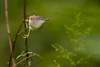 Rufescent Prinia | Prinia Rufescens | Prinia Belukar (Paul B Jones) Tags: rufescentprinia priniarufescens priniabelukar baturakit terengganu malaysia asia bird burung nature wildlife canoneos1dxmarkii ef500mmf4lisiiusm 14xiii asian malaisie maleisië 马来西亚 馬來西亞 malasia 말레이시아 マレーシア ef14xiiiextender oiseau aves vogel photo photograph image picture telephoto