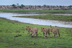Löwen / Lions (brainstorm1984) Tags: big5 boteti safari löwen makgadikgadi junge cubs löwenjunge lion pantheraleo botswana junglöwe desertdeltasafaris wildlife cub junglöwen wildfelinephotography botetiriver leroolatau makgadikgadipansnationalpark löwenjunges makgadikgadipansgamereserve löwe lions bigfive centraldistrict botsuana bw