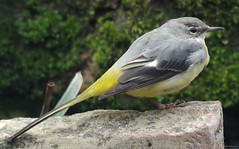 grey wagtail good (Simon Dell Photography) Tags: winter resident grey wagtail just chilling pond really will miss this bird garden weather becomes warmer uk sheffield nature wildlife simon dell photography detail close up awsome