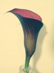 P1040510 (Tom Leadbitter) Tags: panasonic gh3 yashinondx 50mmf17 flower microfourthirds