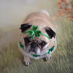 12 Year Old Bailey Puggins Can Still Rock The Shamrocks! (DaPuglet) Tags: pug pugs dog dogs animal animals pet pets stpatricksday patrick shamrock clover lucky irish ireland costume holiday green paddy