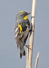 Audubon's Warbler (richmondbrian) Tags: dncb 201713 iona setophagacoronataaudboni yellowrumpedwarbler setophagacoronata yellowrumped warbler audubons