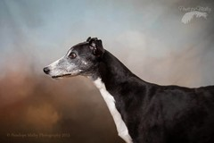 The Renaissance portraits - the greyhound (Penelope Malby Photography) Tags: dog pet studio canine renaissance dogphotography dogportrait dogstudiophotography penelmalby penelopemalbyphotography