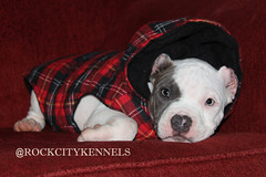 Exotic Mini American Bully Puppy (Rock City Kennels) Tags: city blue white cute rock puppy french nose haze puppies adorable mini pit bulldog pitbull couch potato exotic american micro interstate diablo bully pure platinum wcg ib bullies kennels miagi aceline rockline