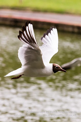 Black headed gull in flight A (Jacek Wojnarowski Photography) Tags: park uk summer england blur bird nature water animal vertical bristol europe adult outdoor wildlife right front seabird blackheadedgull 6x4 dayphotography brownheadedgull