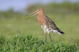 Jaðrakan - Black-tailed Godwit - Limosa limosa