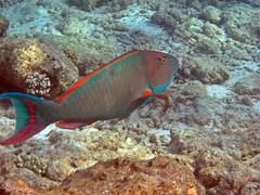 Maldives underwater: Blue-barred Parrotfish. Explored, best # 26 on Sep. 14, 2015 (presbi) Tags: fish snorkeling pesci fishes maldives tropicalfish parrotfish pesce maldive thudufushi pescitropicali pescepappagallo platinumheartaward