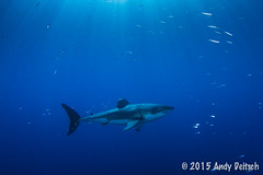 20151001-163536-206 (andy_deitsch) Tags: mexico sharks 2015 guadalupeisland