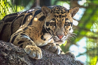 Clouded Leopard (Photographed At Zoo Miami)