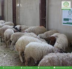 تجهيز الأضاحي 3 (emaar_alsham) Tags: emaar العيد الشام alsham تجهيز اعمار شراء أضاحي اضاحي emaaralsham