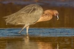 Reddish Egret-2024 (dennis.zaebst) Tags: wild birds florida ngc npc egret fortdesoto reddishegret naturethroughthelens
