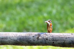 翠鳥 (H.J. Yen) Tags: commonkingfisher alcedoatthis 翠鳥 70d sigma150600 sigma150600mm
