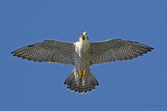 Soaring Peregrine Falcon over the Hudson river (Eugene Lagana) Tags: blue light sky pope up birds speed river spread wings aperture nikon looking cross natural state zoom hawk pray lookout line iso raptor falcon shutter crucifix hudson prey hawkwatch soaring predator rim heavens afs peregrine talons 80400mm 80400