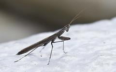 Observing the Praying Mantis (stecki3d) Tags: california macro mantis insect stars san praying diego mount observatory telescope astronomy palomar hale stargazing