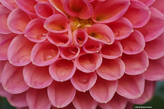 """Raindrops in Dahlia Betty R • <a style=""""font-size:0.8em;"""" href=""""http://www.flickr.com/photos/26989598@N08/21845588395/"""" target=""""_blank"""">View on Flickr</a>"""