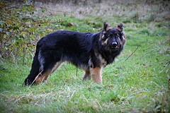 hilton (blue.lacy) Tags: dog black dogs animal animals puppy german sheperd germansheperd blackandbrown