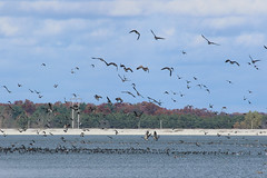 8F9A1162.jpg (ericvdb) Tags: bird geese canadiangeese muskegon wastewaterplant
