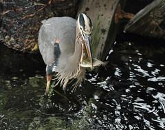Great Blue Heron - IMG_8946a1c (Sue Coastal Observer) Tags: ocean pier fishing bc britishcolumbia surrey whiterock greatblueheron ardeaherodias wadingbird gbhe