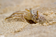 ghost crab @ Tel Baruch Beach Tel Aviv Israel 2015 urban nature (Jan Rillich) Tags: park urban sun beach nature beautiful beauty animal fauna digital photography eos israel photo telaviv sand flora foto fotografie image jan wildlife picture free crab sunny urbannature telbaruch 2015 animalphotography ghostcrab janrillich rillich