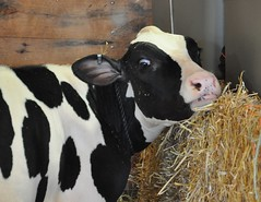 Goshen Fair 2015 (caboose_rodeo) Tags: blackwhite livestock 695 dairycattle connecticutstateagriculturalfairs
