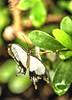 Divers JVA_0488_89_90_tonemapped (mrjean.eu) Tags: sara sp atlas demi insectes attacus papillons heliconiinae deuil heliconius phaetusa dryatula