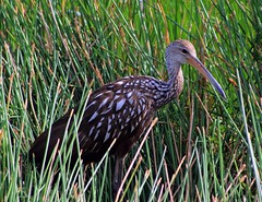 A Little Shy (PelicanPete) Tags: portrait usa brown sunlight white green nature beauty animal reeds colorful unitedstates florida outdoor wildlife profile warmth shy 300mm wetlands handheld shoulder markings acorns southflorida naturephotography limpkin birdphotography inthewild boyntonbeachflorida wildlifephotography avianphotography greencaywetlands avianexcellence alittleshy photographyinthewild