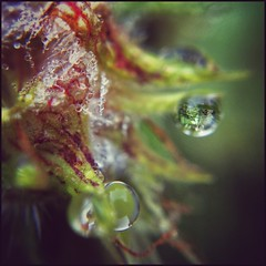 Fence In A Droplet - Color (Firery Broome) Tags: red macro green nature leaves yellow closeup fence reflections square dewdrops vines dof bokeh earlymorning cellphone maryland dew droplet 365 waterdrops morningdew phonephoto apps iphone naturelovers ipad fairhill earthnature earlyautumn cecilcounty phoneography marylandnature squarenature iphoneography externallens fencefriday ipaddarkroom olloclip snapseed iphone5s