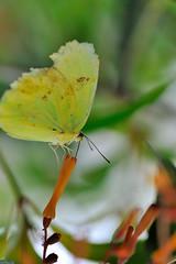 Citron JVA_0717 (mrjean.eu) Tags: sara sp atlas demi insectes attacus papillons heliconiinae deuil heliconius phaetusa dryatula