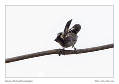 Lotens Sunbird With Eclipse Plumage (drkrishi) Tags: india birds asia aves karnataka mangalore in passeriformes dakshinakannada eclipseplumage lotenssunbird nectarinialotenia longbilledsunbird cinnyrislotenius chordata cinnyris nectariniidae bondel maroonbreastedsunbird arachnechthralotenia