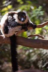 LEMUR-PARK-35 (RAFFI YOUREDJIAN PHOTOGRAPHY) Tags: park city travel trees plants baby white cute green animal fauna canon river jumping sweet turtle wildlife bricks mother adorable adventure explore lemur 5d lemurs bushes madagascar 70200 antananarivo mkiii