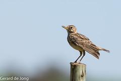 Large-billed Lark (igerarddejong) Tags: birds southafrica vogels zuidafrika galeridamagnirostris largebilledlark