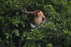 Proboscis monkey (ggallice) Tags: malaysia borneo endangered endemic sabah floodplain proboscismonkey cercopithecidae nasalislarvatus kinabatanganriver sungaikinabatangan bekantan monyetbelanda lowlandrainforest