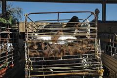 al ain livestock souq (Parto Domani) Tags: al united uae arabic east emirates arab oriente middle peninsula livestock mercato medio souq uniti arabi bestie arabica ain penisola emirati bestiame