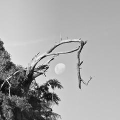 Jerrabomberra Wetlands - part 2 (screenstreet) Tags: blackandwhite moon jerrabomberrawetlands silverefexpro 85mmf18g nikon1v1 photowalkcanberra