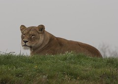 African Lion (mark_fr) Tags: bear park two one three leo african wildlife south yorkshire tiger lion pride leopard polar eastern far tigris ursus amur doncaster yorks panthera maritimus cantley pardus altaica ywp armthorpe oreintalis