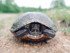 Shellshocked (JN) Tags: nikon turtle alabama maxwell montgomery 1735mmf28d gunter d700