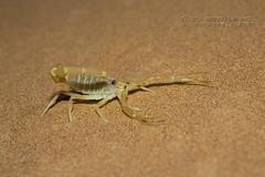 319A4448 Scorpion - Buthidae Apistobuthus pterygocercus in Sharjah desert (Priscilla van Andel - Shifting houses) Tags: scorpion buthidaeapistobuthuspterygocercus sharjahdesert buthidae arabianscorpions yellowscorpion