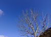 Dried tree under the blue sky (phuong.sg@gmail.com) Tags: abstract agriculture autumn background bare bark blue branch clouds color dead death design die dry ecology environment forest gray grow landscape leafless life lifeless lonely natural nature old outdoor park plant season silhouette sky stem summer tall texture tree trunk weather winter wood wooden