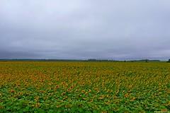 Желтые краски на сером небе невероятно хороши. А тем временем позади осталось уже 20 км, а на часах  еще только 9-00. Погода по-прежнему штормит