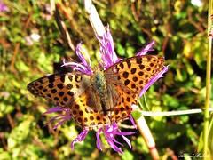 Butterfly 1135 (+450000 views!) Tags: butterfly borboleta farfalla mariposa papillon schmetterling فراشة