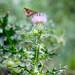 Mariposa en flor de cardo
