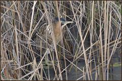 Bittern (image 1 of 2) (Full Moon Images) Tags: woodwalton fen greatfen bcn wildlife trust nnr national nature reserve cambridgeshire bird bittern