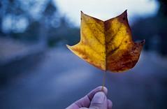 from last fall (-Alberto_) Tags: canonelan7 35mmfilm colors fujisuperia fall macro
