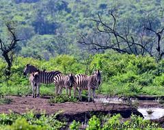 Hluhluwe-Imfolozi 021 (REBlue) Tags: southafrica kwazulunatalprovince hluhluweimfolozipark burchellszebra