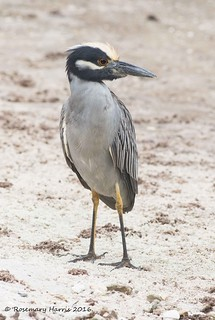 Yellow-crowned Night Heron (Explored December 22 2016)